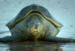 turtle-1611156371.jpg