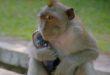 2165868-monkeythiefpurse-1618146285.jpg