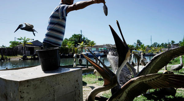 pelican-1623267583.jpg